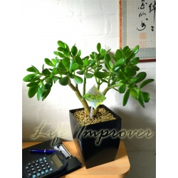 1 x Jade Plant Money Friendship Plant in Small Milano Pot,35-40cm Tall