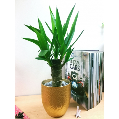 Luxury Mother in Laws Tongue House Snake Plant @ Golden Ceramic Pot Silver Top