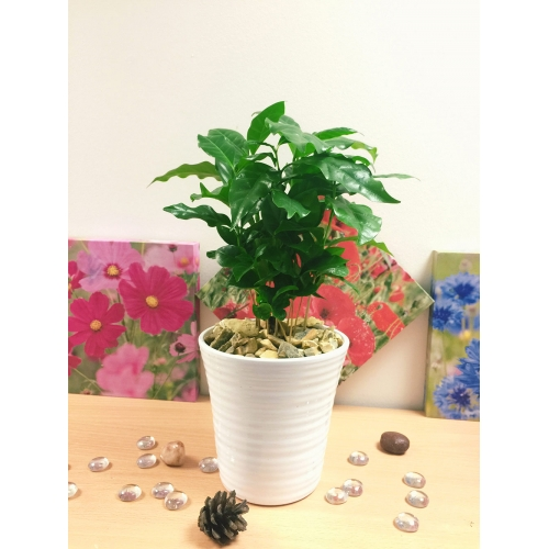 Elegant Coffee Indoor Plant White Ceramic Pot Gravel Topping