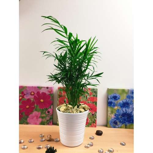 Parlour Palm Chamaedorea elegans Self Watering Pot /& Topping House Office Plant