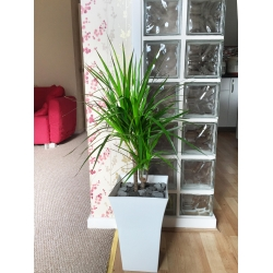 1 Large Double Dragon Tree in Gloss White Milano Pot 90 - 100cm Tall Floor Plant