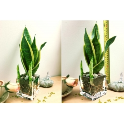 Floating Plant - 1 Snake Plant in Mini Cube Glass Pot