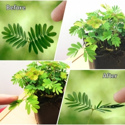 Lovely Sensitive Plant in Pot Mimosa Pudica Indoor House Office Shame Shy Rare