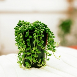 Senecio rowleyanus House Plant in a 10/11cm Pot. String of Pearls
